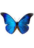 Papillon-bleu-ciel